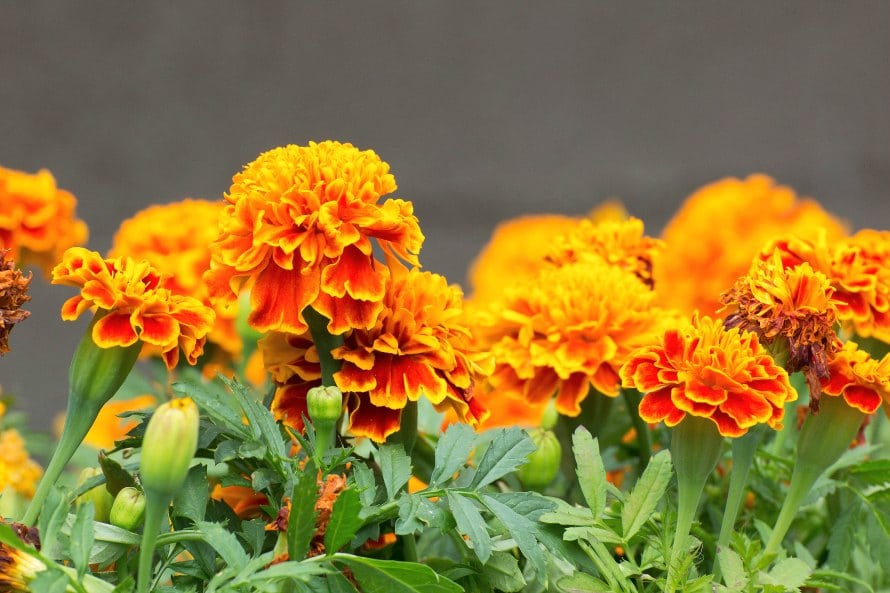 10 facts about day of the dead how disney pixars coco marigolds known as cempaschil means flower of the dead youll need lots and lots of them the scent of the flowers lures the spirits home mightylinksfo